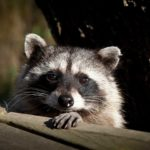 Raccoon-Middle-age