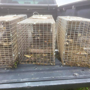 Animal Removal Indianapolis, Racoons Animal Control