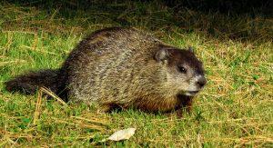 Groundhog-removal-indianapolis-ohio