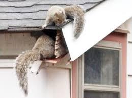 Squirrel-removal-indianapolis-ohio