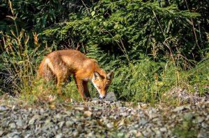fox-removal-indianapolis-ohio