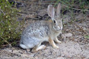 rabbit-removal-indianapolis-columbus-ohio
