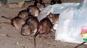 rat-removal-indianapolis-ohio